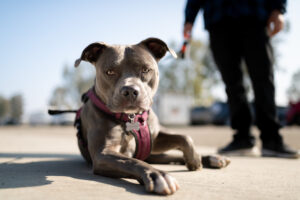 American bull dog pitbull portrait at Buttonwillow Raceway for Global Time Attack finals photography by Luke Munnell